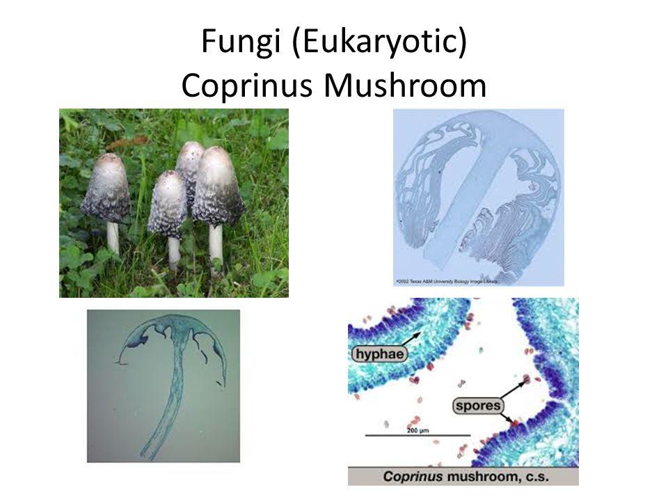 Fungi (Eukaryotic) Coprinus Mushroom