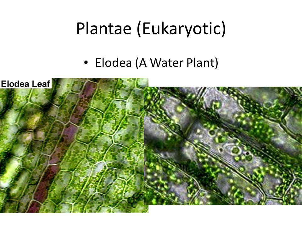 Plantae (Eukaryotic) Elodea (A Water Plant)