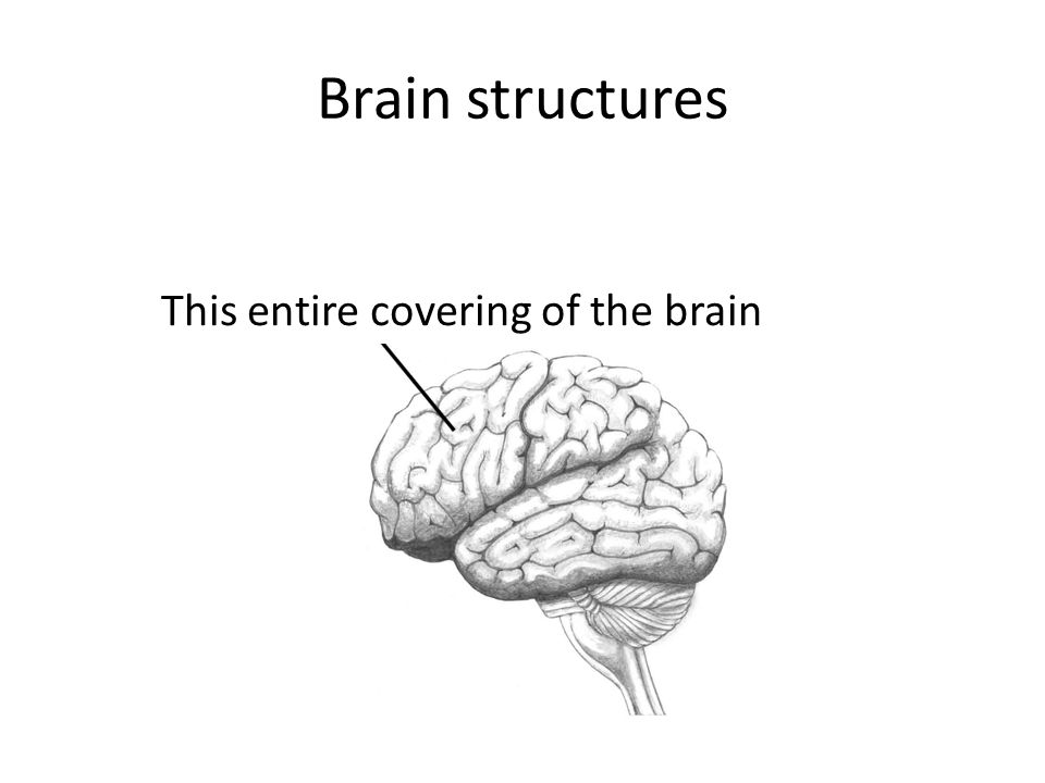 Brain structures This entire covering of the brain