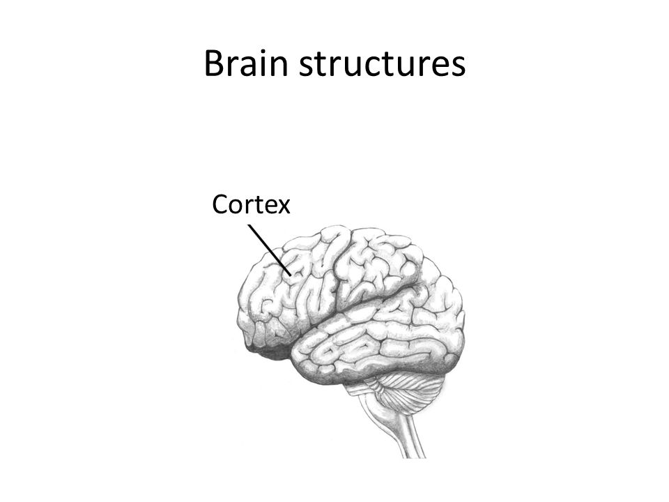 Brain structures Cortex