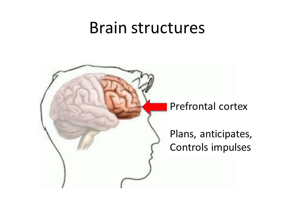Brain structures Prefrontal cortex
