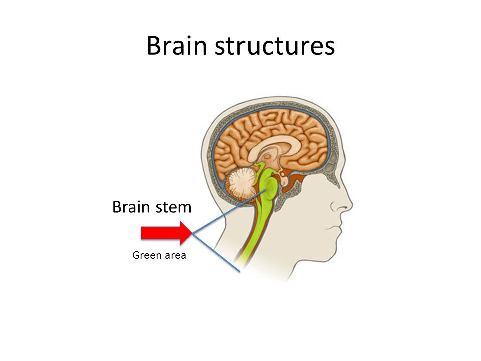 Brain structures Brain stem Green area