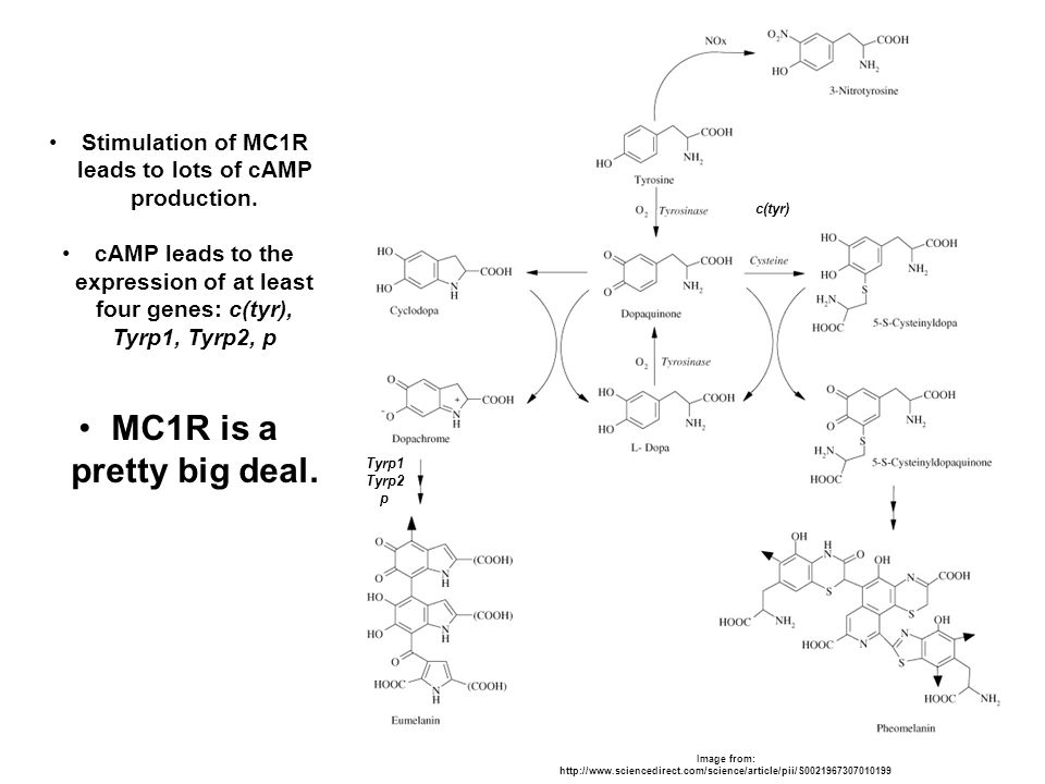 Stimulation of MC1R leads to lots of cAMP production.