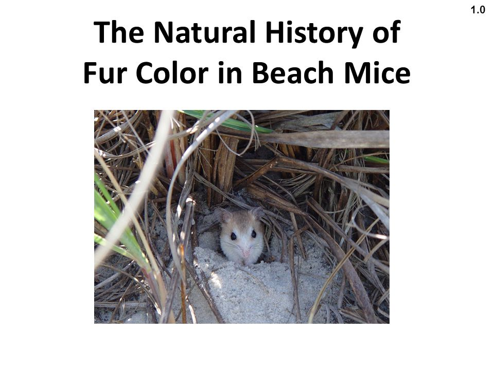 The Natural History of Fur Color in Beach Mice