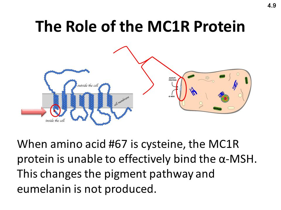 The Role of the MC1R Protein
