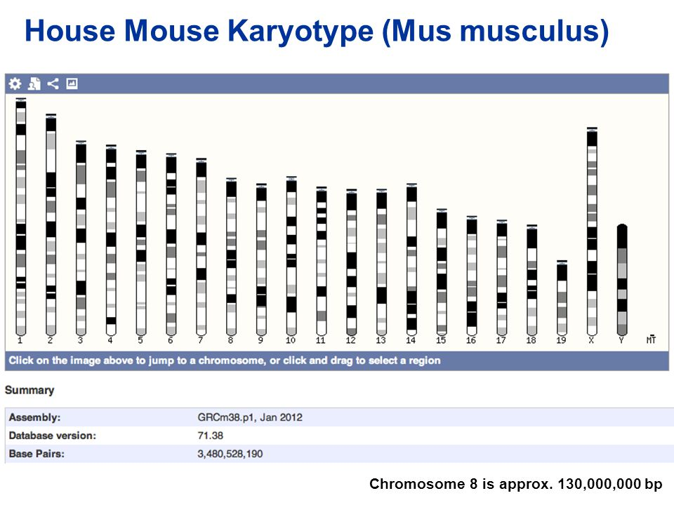 House Mouse Karyotype (Mus musculus)
