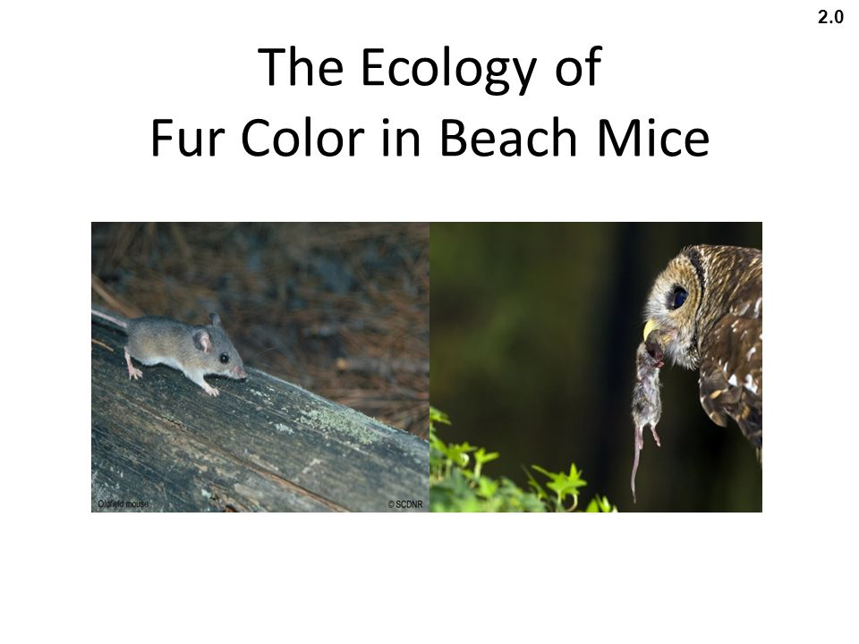 The Ecology of Fur Color in Beach Mice