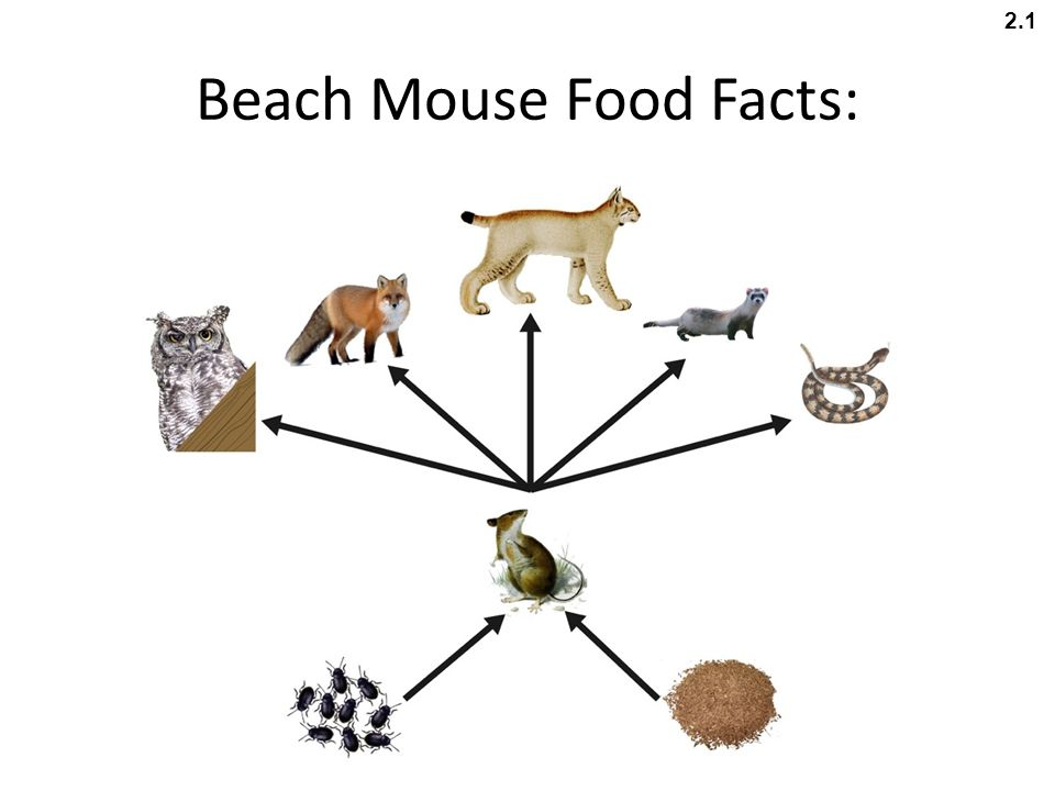 Beach Mouse Food Facts: