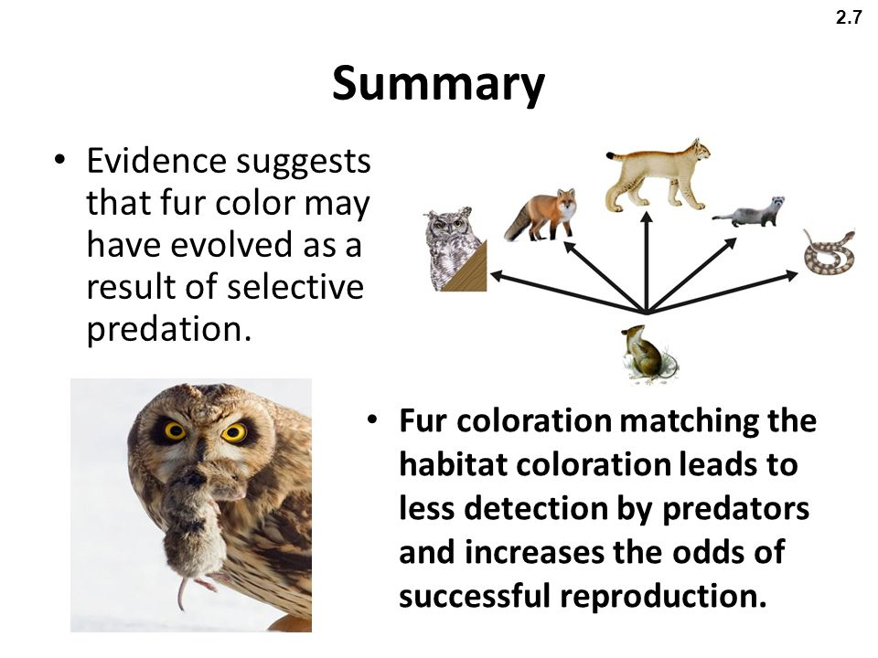 2.7 Summary. Evidence suggests that fur color may have evolved as a result of selective predation.