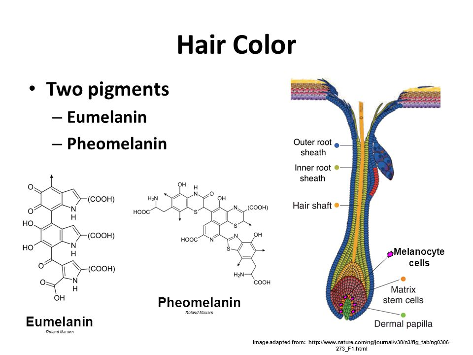 Hair Color Two pigments Eumelanin Pheomelanin Pheomelanin Eumelanin