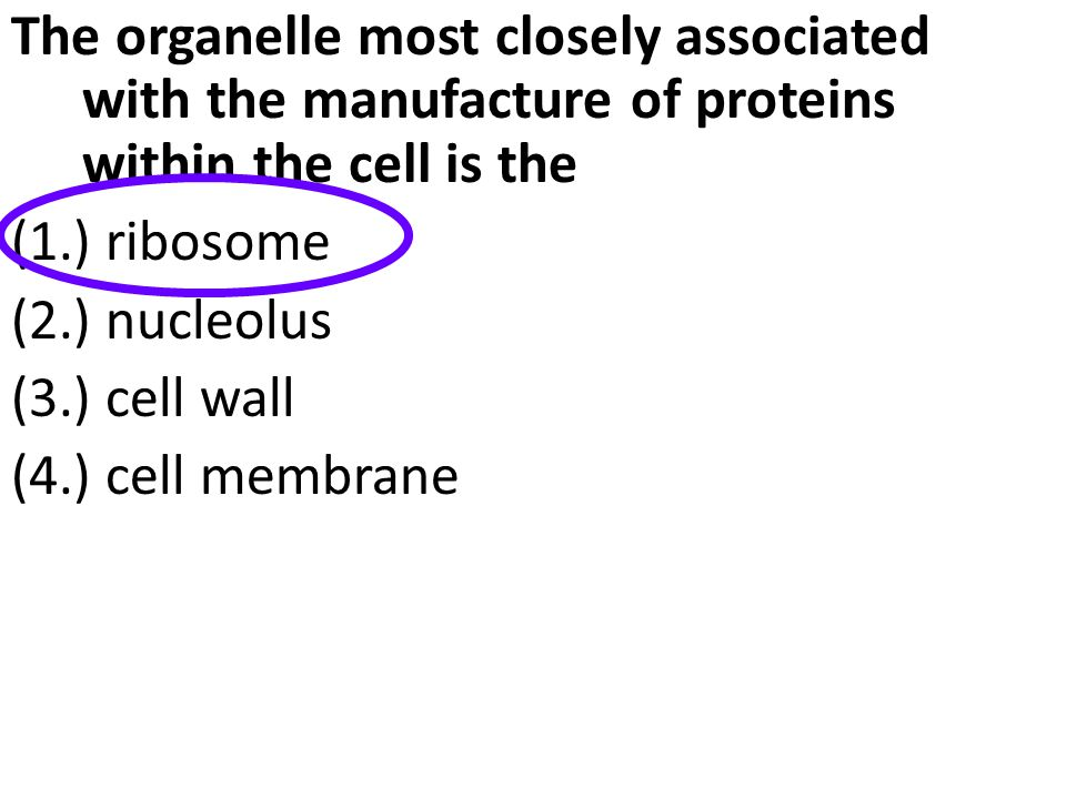 The organelle most closely associated with the manufacture of proteins within the cell is the