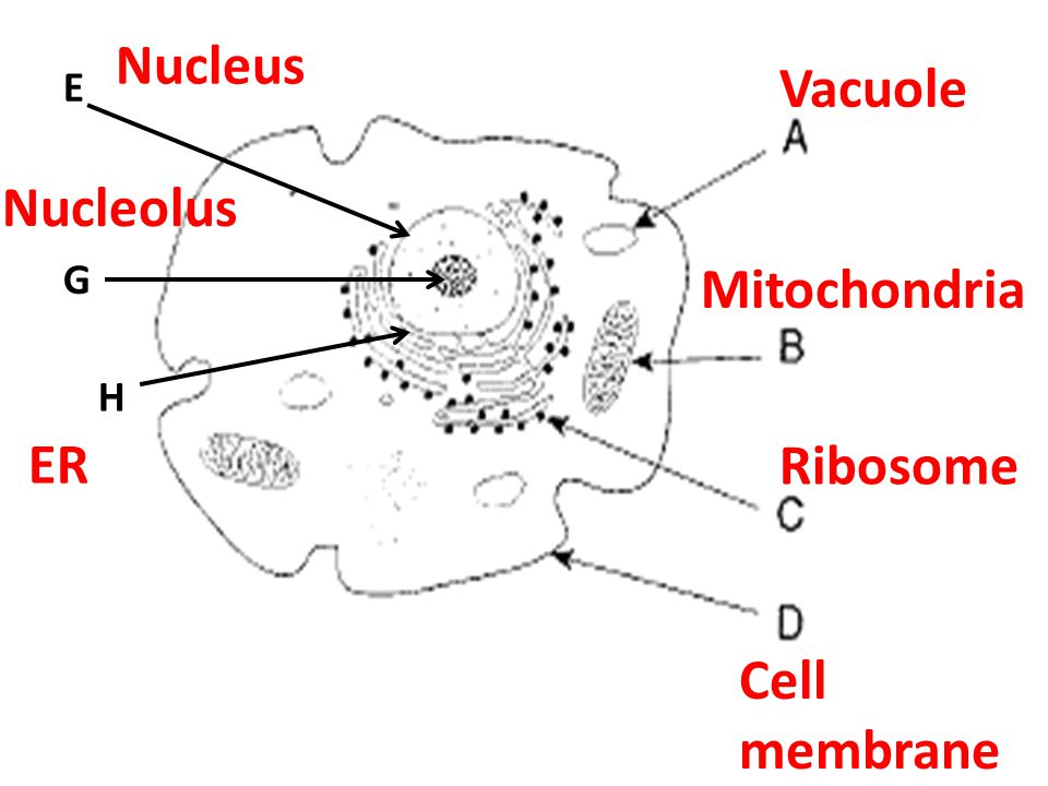 Nucleus Vacuole E Nucleolus G Mitochondria H ER Ribosome Cell membrane