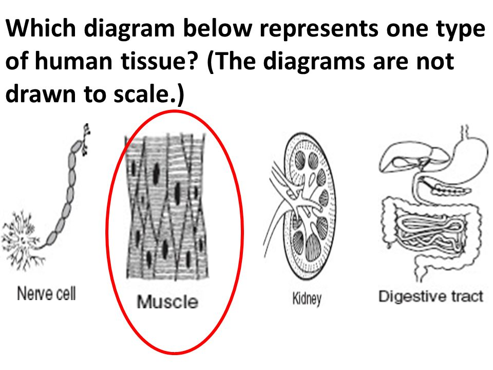 Which diagram below represents one type of human tissue