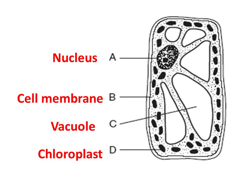 Nucleus Cell membrane Vacuole Chloroplast
