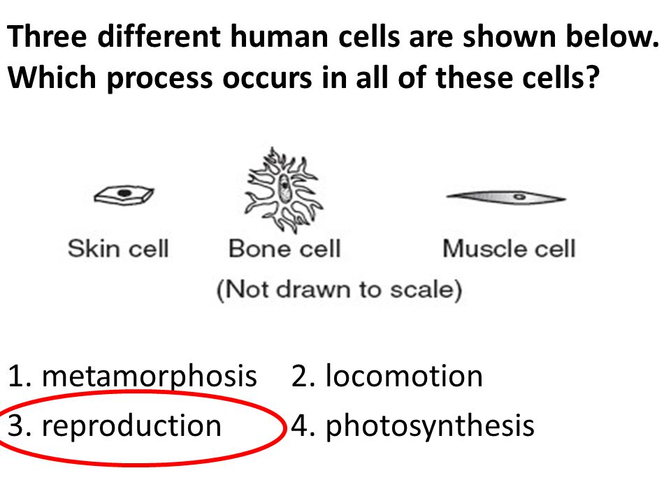 Three different human cells are shown below