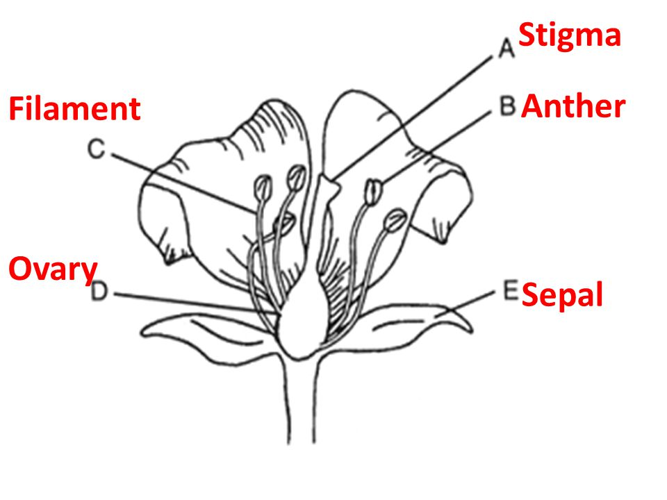 Stigma Filament Anther Ovary Sepal