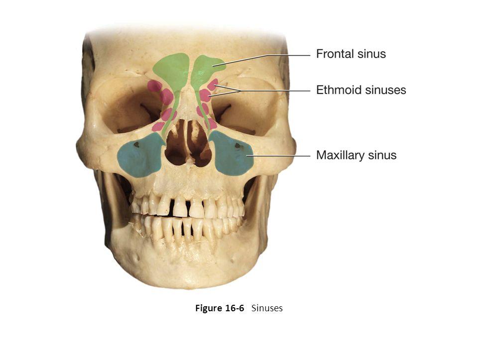 Figure 16-6 Sinuses 24