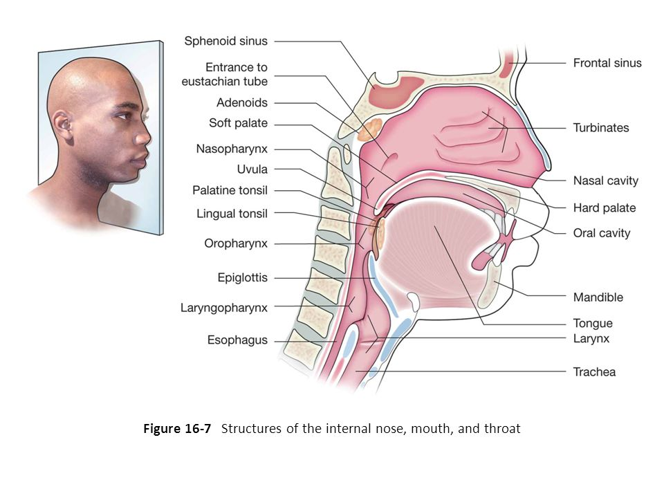 Figure 16-7 Structures of the internal nose, mouth, and throat