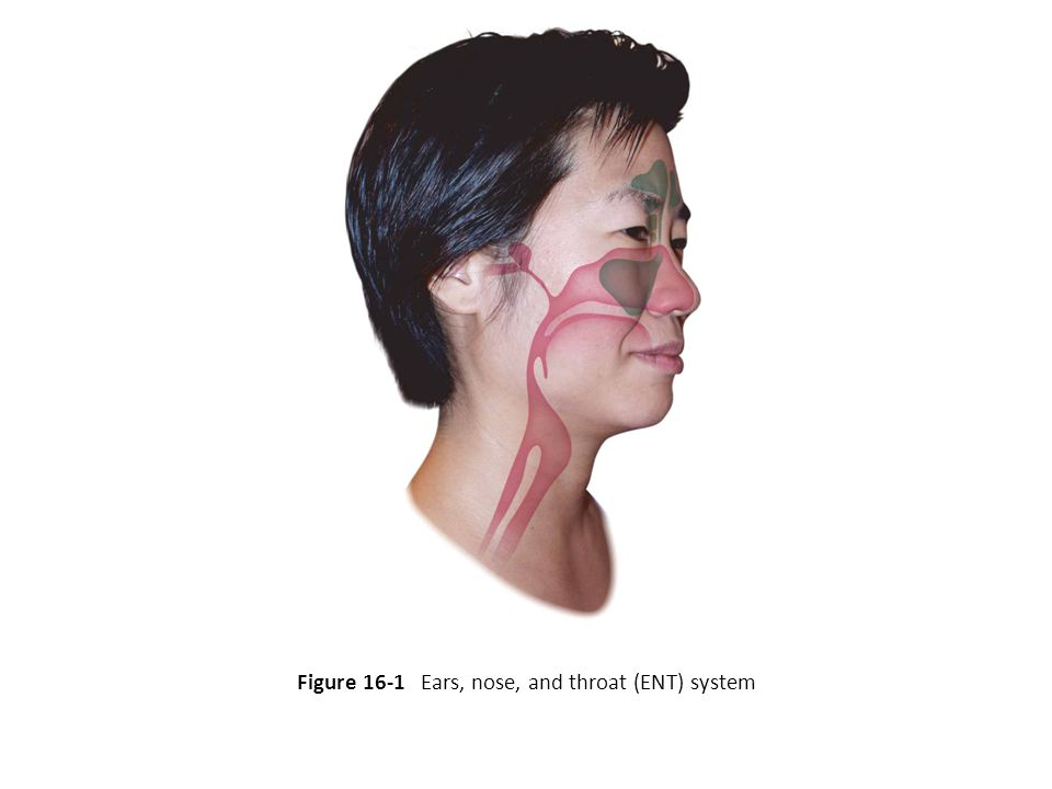 Figure 16-1 Ears, nose, and throat (ENT) system