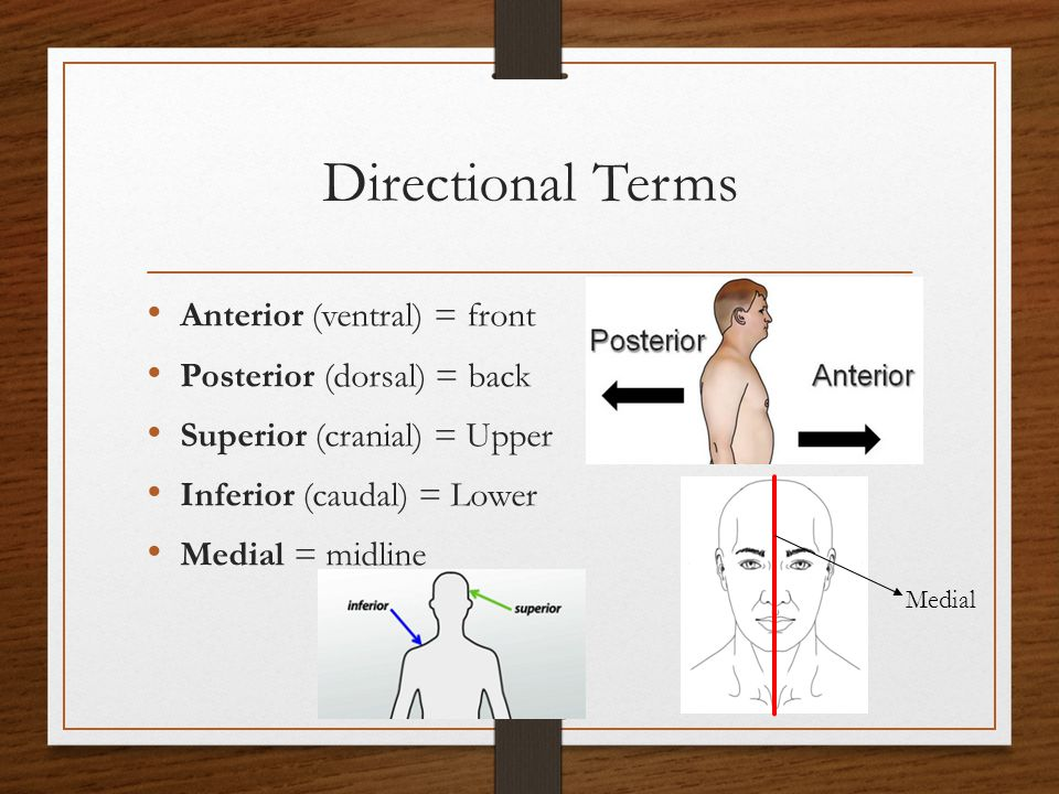 Directional Terms Anterior (ventral) = front Posterior (dorsal) = back