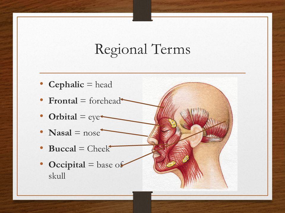 Regional Terms Cephalic = head Frontal = forehead Orbital = eye