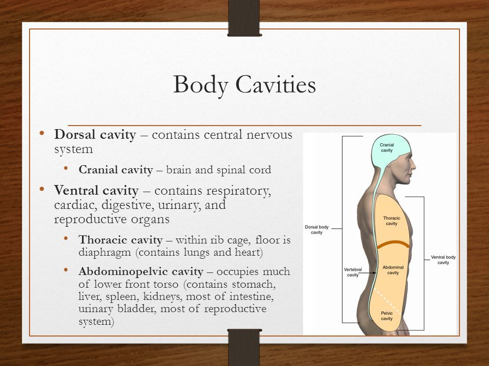 Body Cavities Dorsal cavity – contains central nervous system