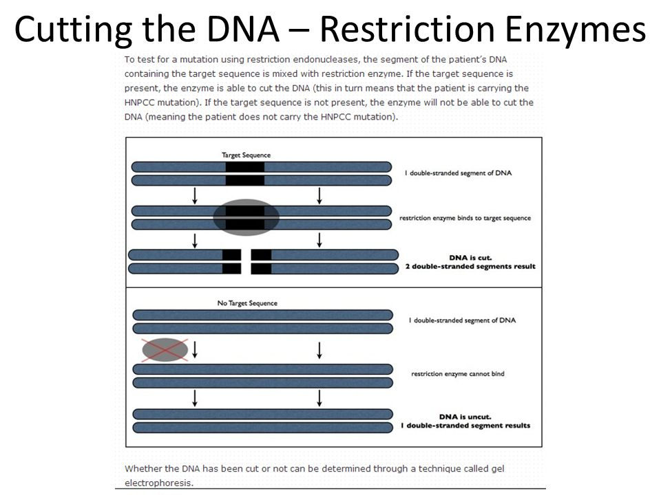 Cutting the DNA – Restriction Enzymes