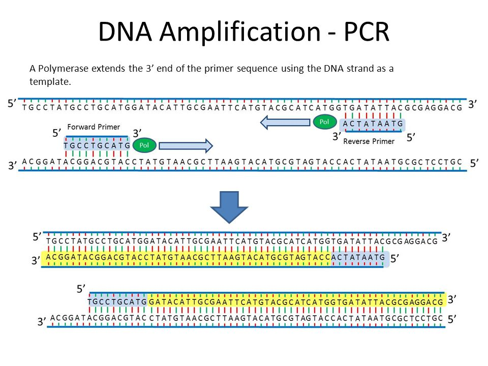 the amplification of dna by polymerase Polymerase chain reaction (pcr) is a very effective technique of obtaining multiple identical copies of a certain dna strand (amplifying dna) pcr can be used for amplifying dna, mutation dna, delete dna, and introduce restriction endonuclease site pcr is performed by repeating a cycle that consists of several steps.