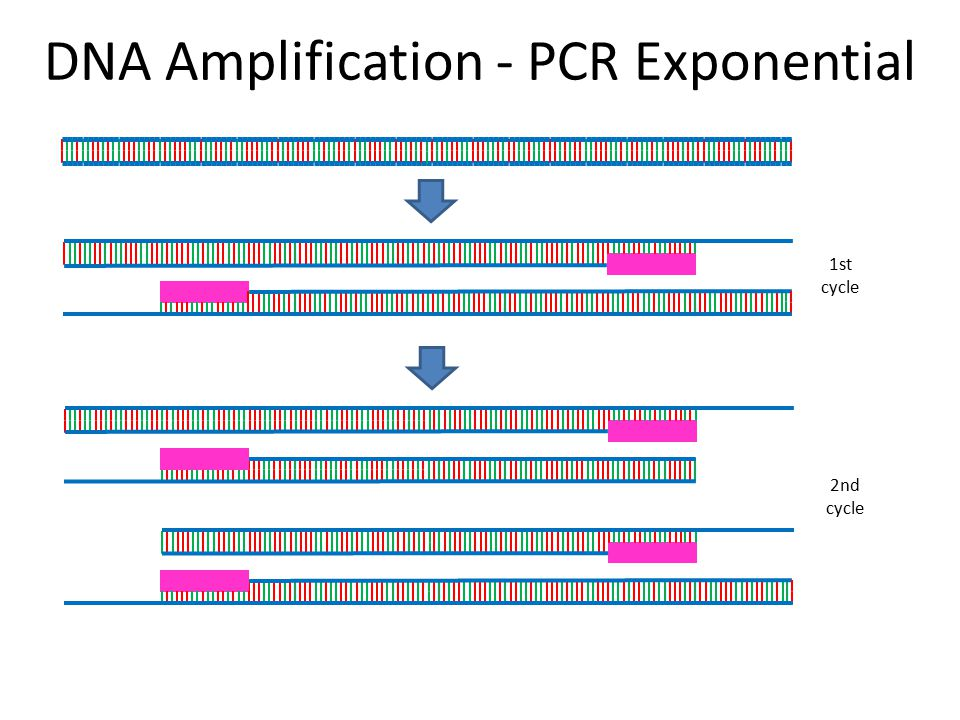 DNA Amplification - PCR Exponential