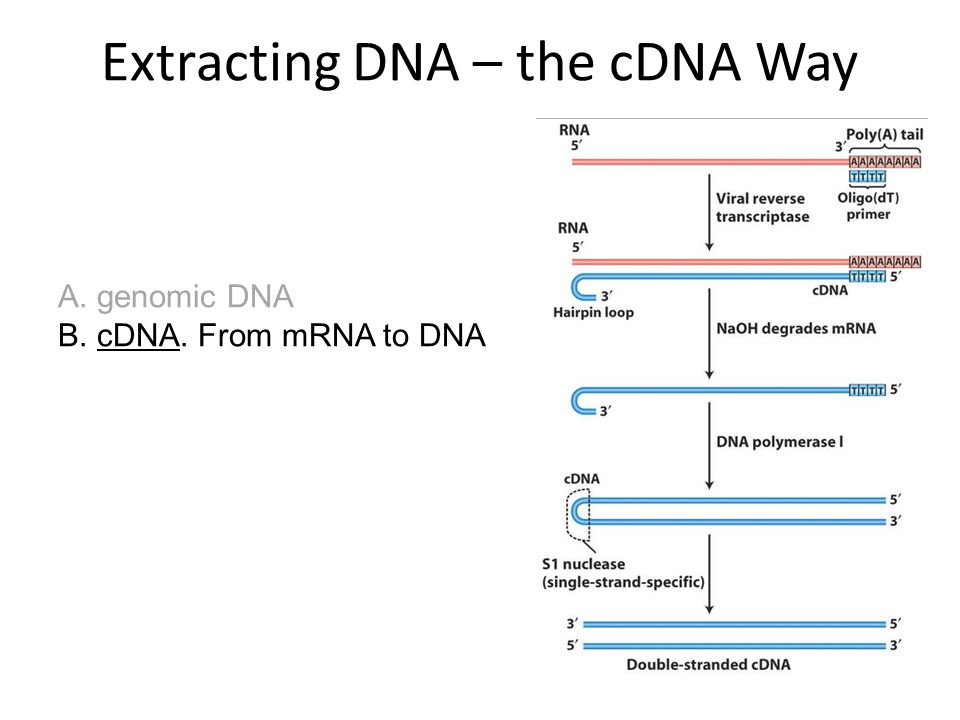Extracting DNA – the cDNA Way