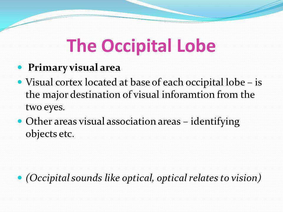The Occipital Lobe Primary visual area
