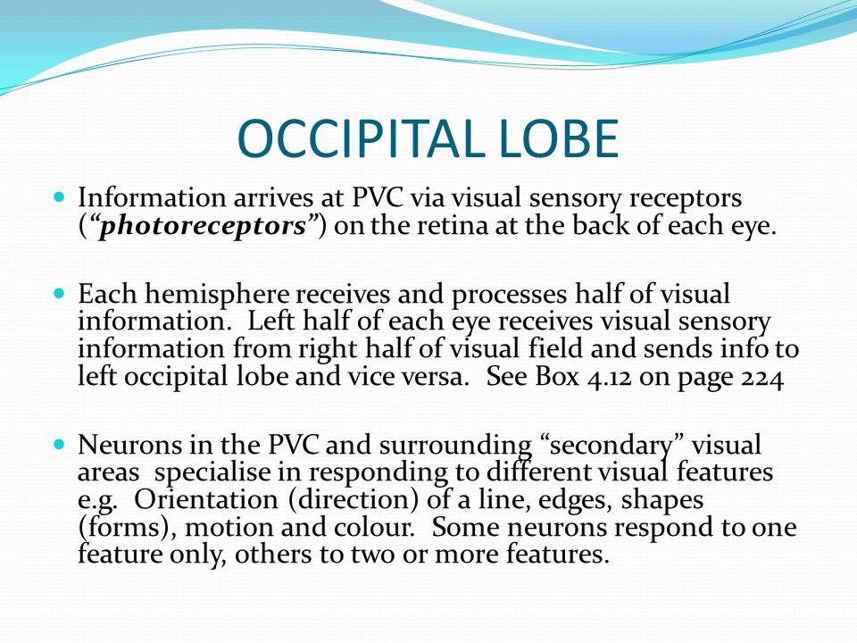 OCCIPITAL LOBE Information arrives at PVC via visual sensory receptors ( photoreceptors ) on the retina at the back of each eye.