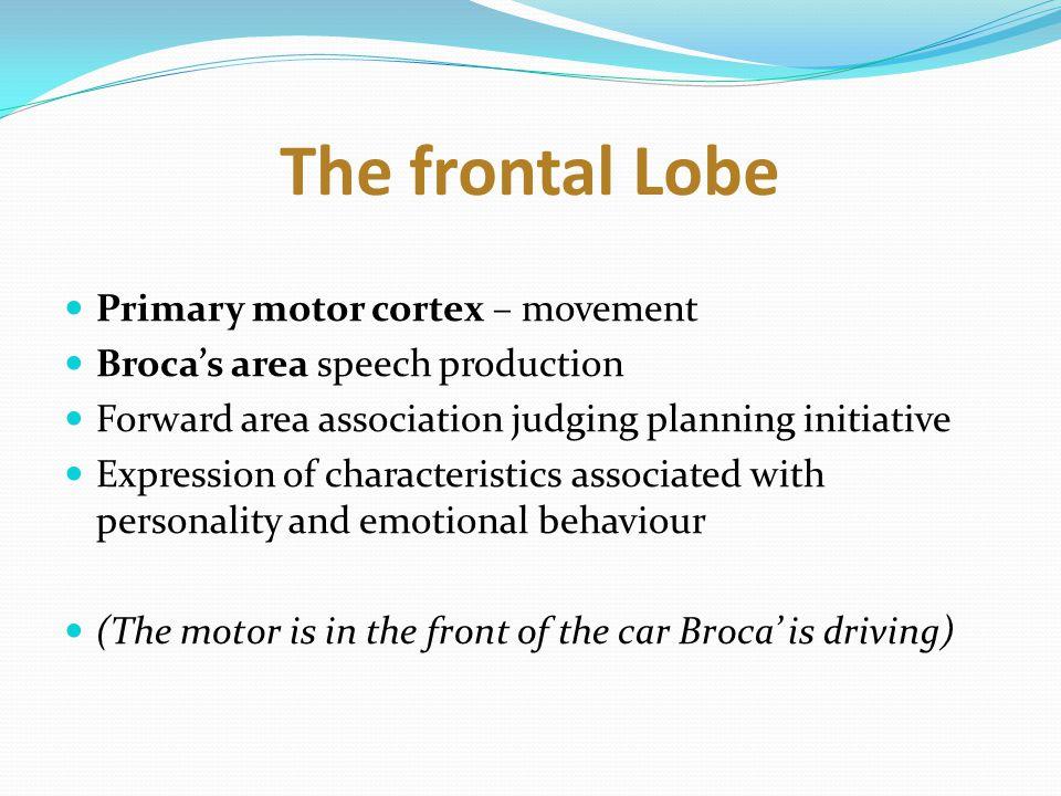 The frontal Lobe Primary motor cortex – movement