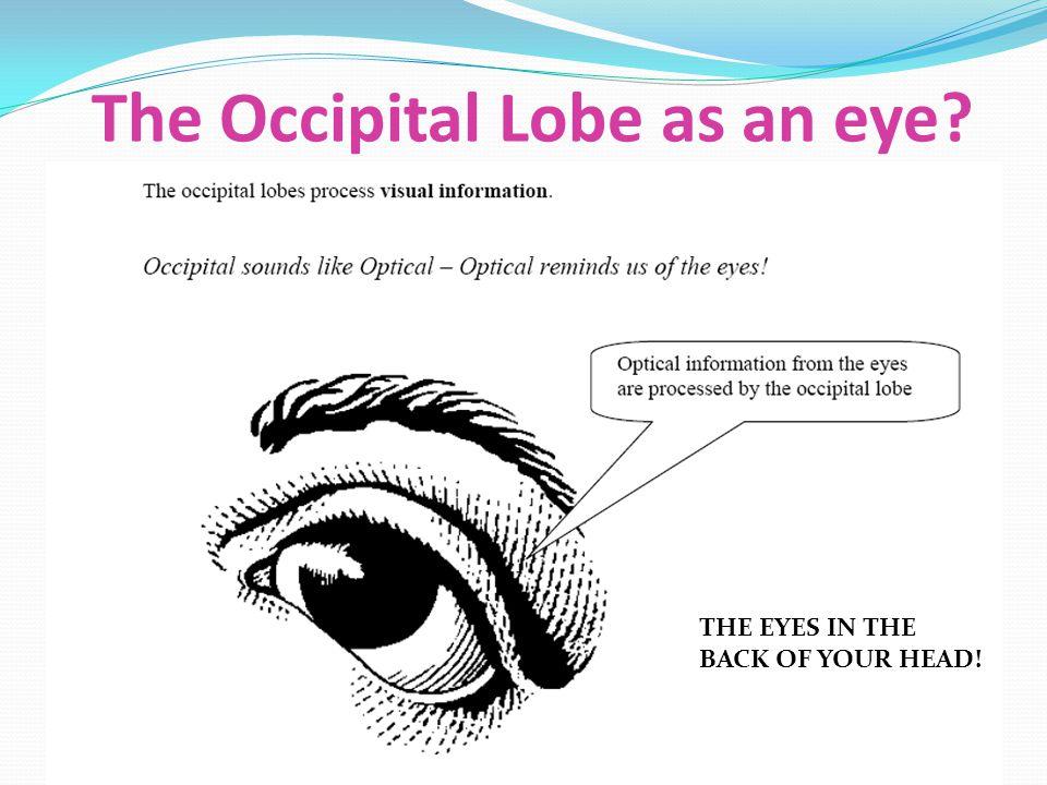 The Occipital Lobe as an eye