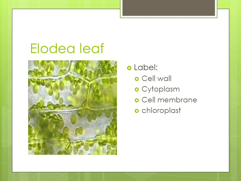 Elodea leaf Label: Cell wall Cytoplasm Cell membrane chloroplast