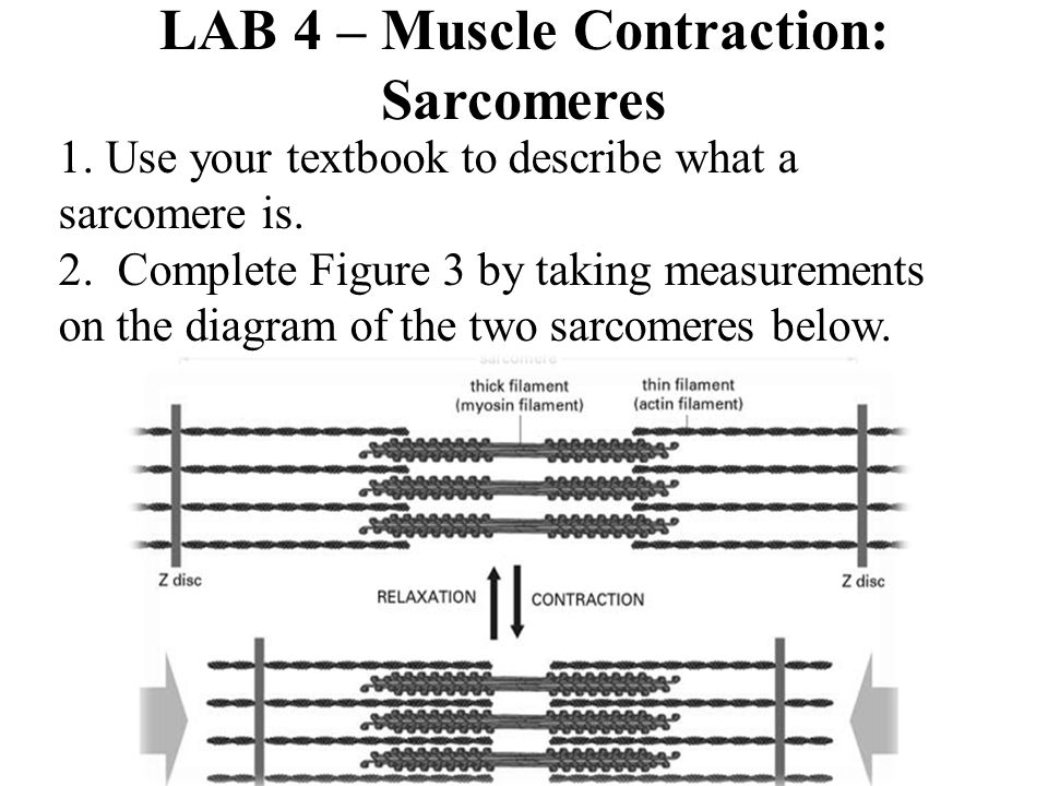 LAB 4 – Muscle Contraction: Sarcomeres