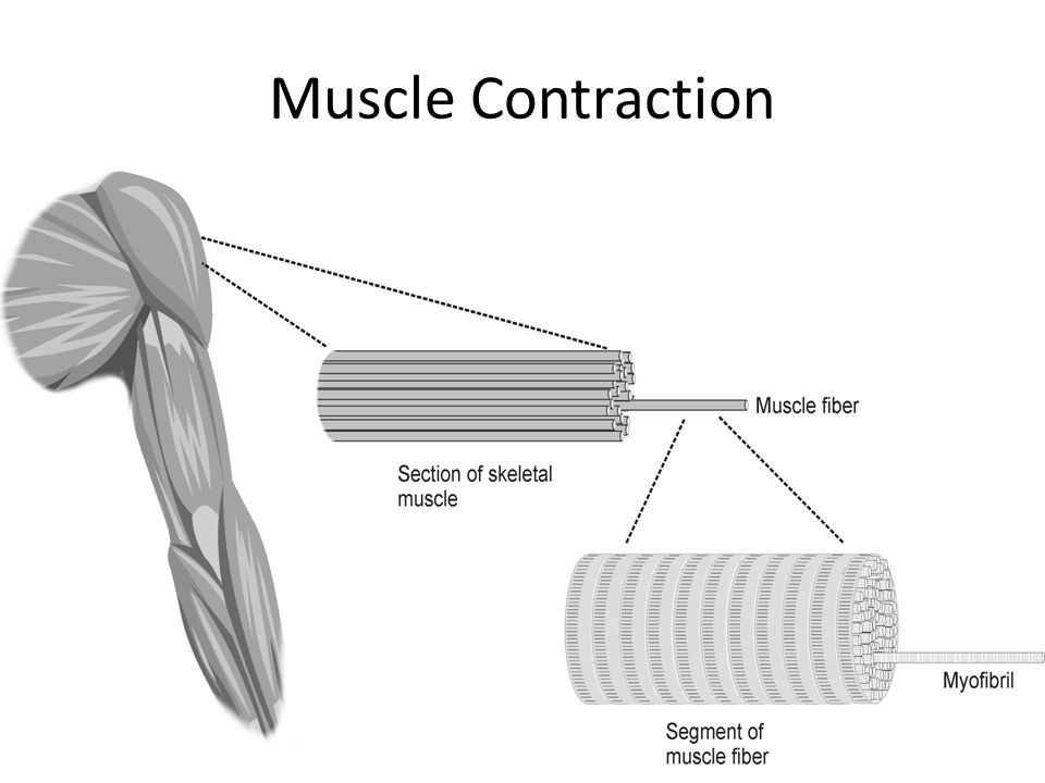 Muscle Contraction Figure 1