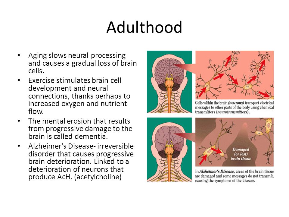 Adulthood Aging slows neural processing and causes a gradual loss of brain cells.