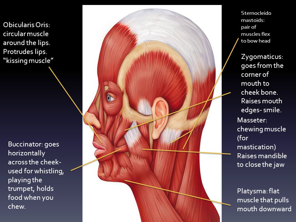 Platysma: flat muscle that pulls mouth downward