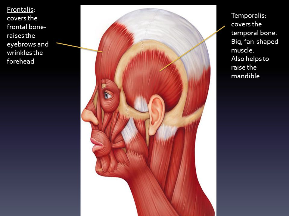 Frontalis: covers the frontal bone-raises the eyebrows and wrinkles the forehead