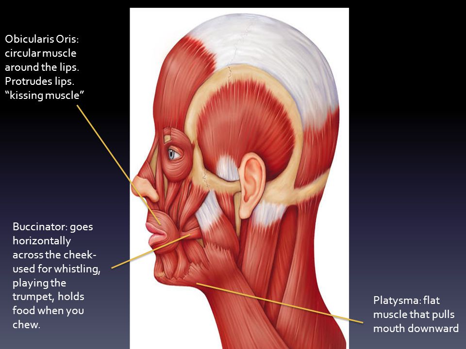 Obicularis Oris: circular muscle around the lips. Protrudes lips