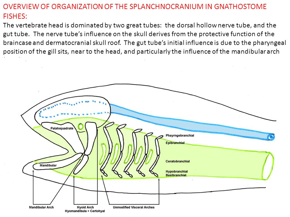 OVERVIEW OF ORGANIZATION OF THE SPLANCHNOCRANIUM IN GNATHOSTOME FISHES: