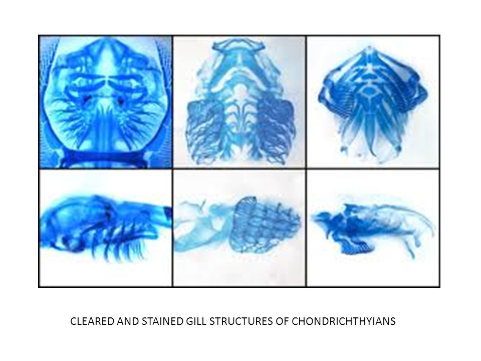 CLEARED AND STAINED GILL STRUCTURES OF CHONDRICHTHYIANS