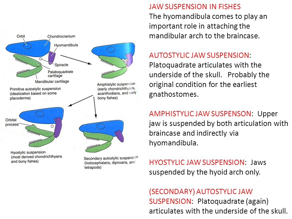 JAW SUSPENSION IN FISHES