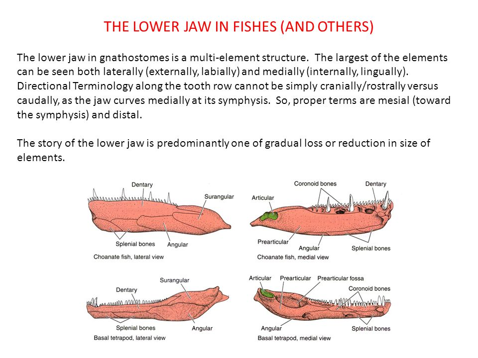 THE LOWER JAW IN FISHES (AND OTHERS)
