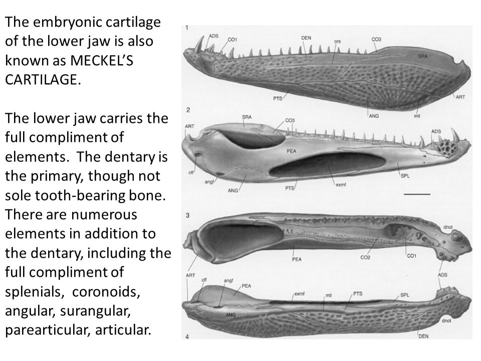 The embryonic cartilage of the lower jaw is also known as MECKEL'S CARTILAGE.