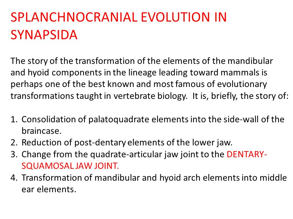 SPLANCHNOCRANIAL EVOLUTION IN SYNAPSIDA