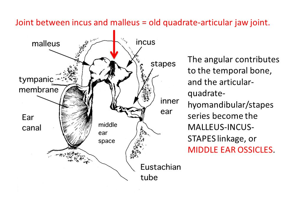 Joint between incus and malleus = old quadrate-articular jaw joint.