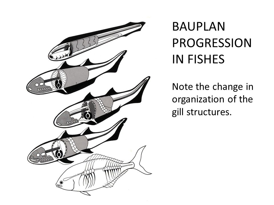 BAUPLAN PROGRESSION IN FISHES