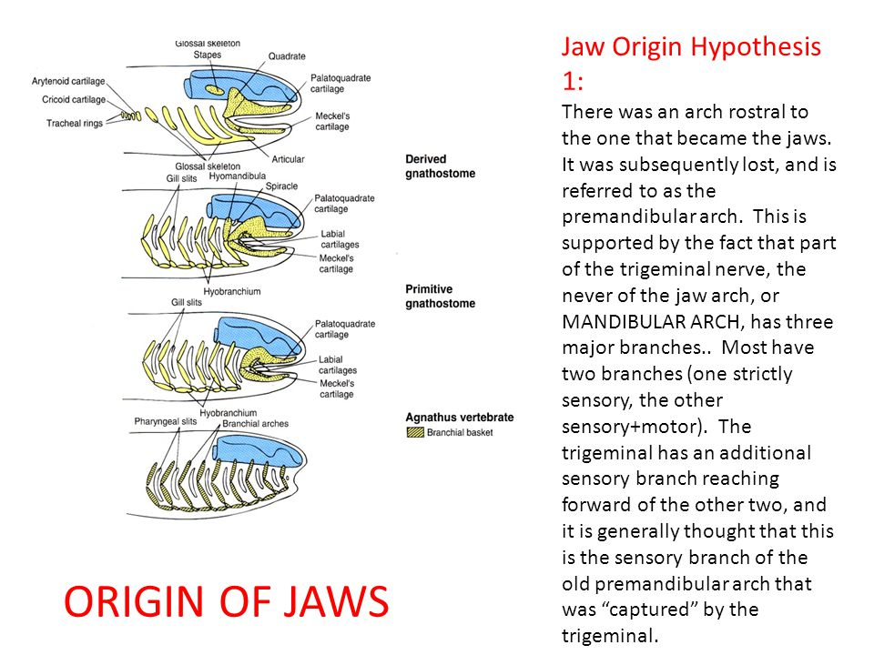 ORIGIN OF JAWS Jaw Origin Hypothesis 1: